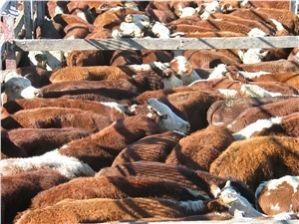 cow_herd